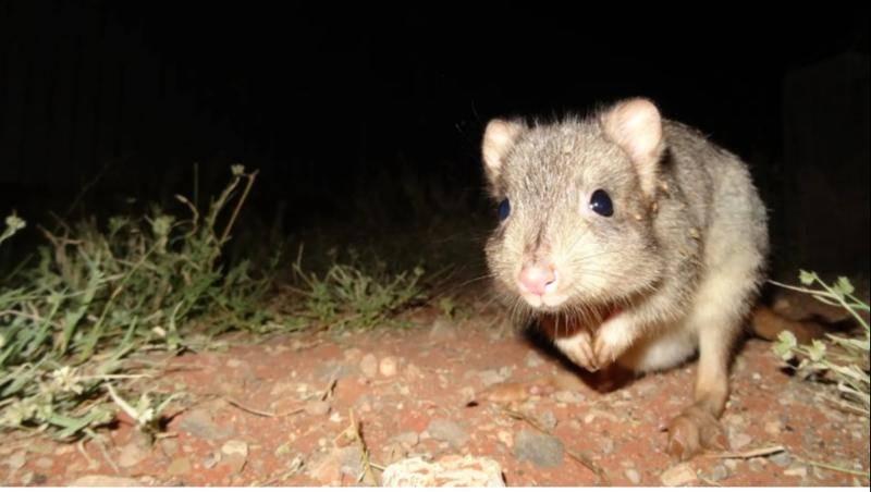 草原袋鼠(Bettongs)在受到掠食者的有控制的接触后变得更加警惕 图源:Arid Recovery